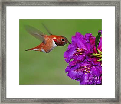 Framed Print featuring the photograph Hummer N Blooms by Jack Moskovita