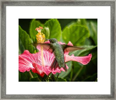 Hummers In The Garden Five Framed Print by Michael Putnam