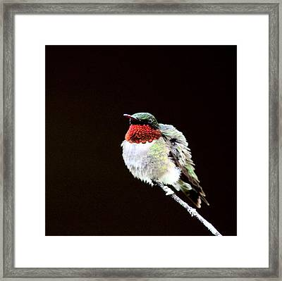 Hummingbird - Ruffled Feathers Framed Print