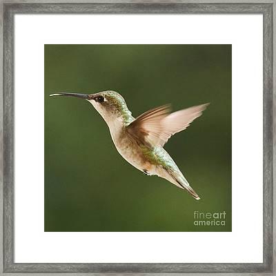 Hummingbird 1 Framed Print by Lori Whalen