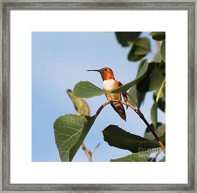 Hummingbird 11 Framed Print
