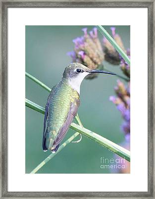Hummingbird At Rest Framed Print by Robert E Alter Reflections of Infinity