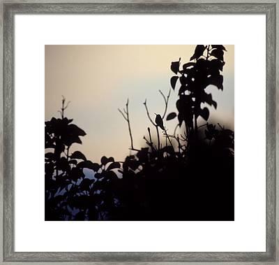 Hummingbird At Sunset Framed Print