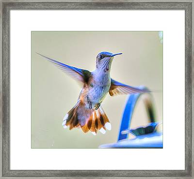 Hummingbird At The Feeder Framed Print by Shirley Tinkham