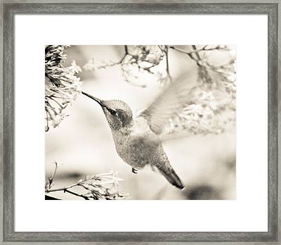 Framed Print featuring the photograph Hummingbird At The Valerian by Ronda Broatch