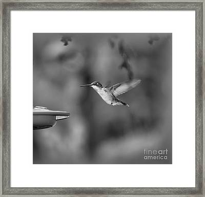 Hummingbird  Black And White Framed Print by Donna Brown