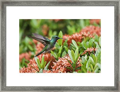 Hummingbird Flying Over Red Flowers Framed Print by Craig Lapsley