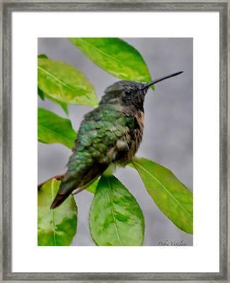 Hummingbird Gem 4 Framed Print by Debra     Vatalaro