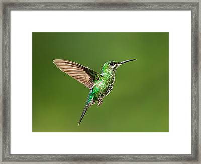 Hummingbird In Flight Framed Print by Hali Sowle