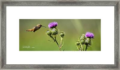 Hummingbird In Flight - Milkweed Thistle Framed Print