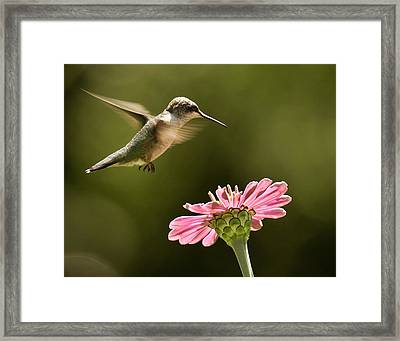 Hummingbird Framed Print by Jody Trappe Photography
