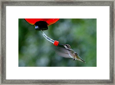 Hummingbird Framed Print by Lois Lepisto