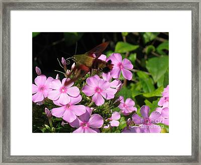 Framed Print featuring the photograph Hummingbird Moth  by Nancy Patterson