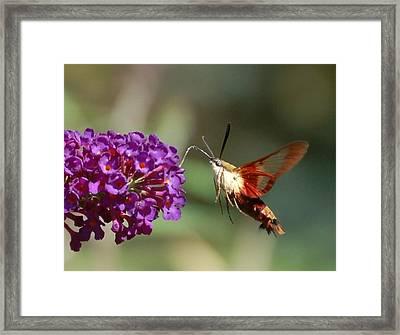 Hummingbird Moth Framed Print by Randy J Heath