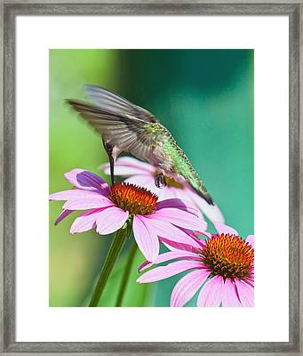 Framed Print featuring the photograph Hummingbird On Coneflower by Susi Stroud