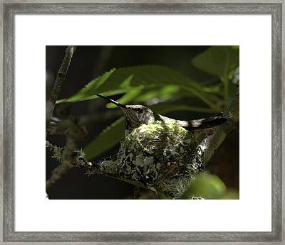Framed Print featuring the photograph Hummingbird On Nest by Betty Depee