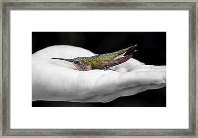 Hummingbird Rescue Framed Print by Bill Tiepelman
