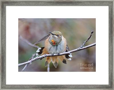 Hummingbird Stretch Two Framed Print by Suzanne Handel