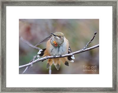 Hummingbird Stretch Two Framed Print