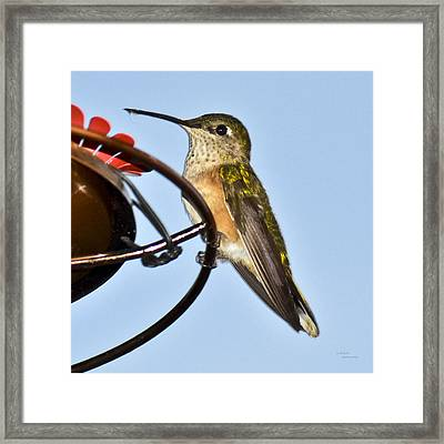 Hummingbird Framed Print