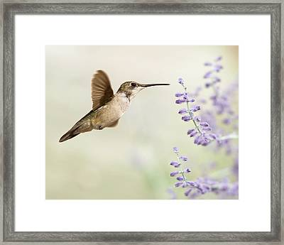 Hummingbird With Purple Flowers Framed Print by Jody Trappe Photography
