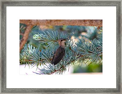 Hummingbird's First Flight Framed Print