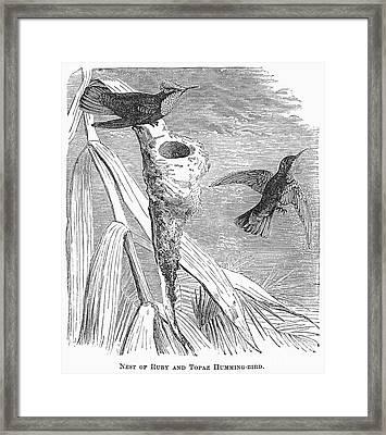 Hummingbirds Framed Print by Granger