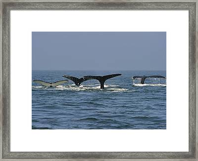Humpback Flukes Framed Print by Tony Beck
