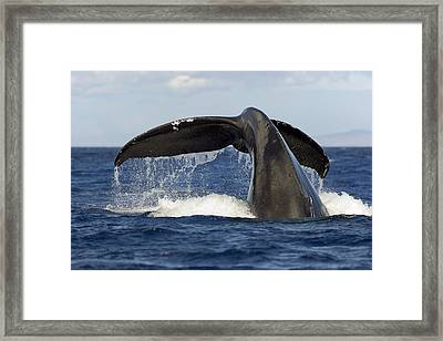 Humpback Tail Framed Print by Dave Fleetham