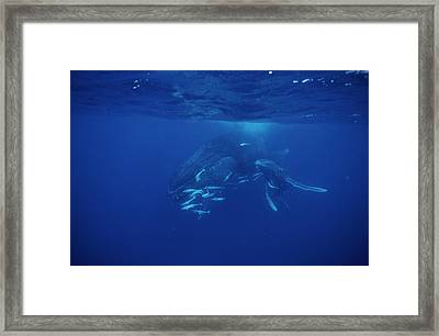 Humpback Whale Calf And Mother Framed Print by Alexis Rosenfeld