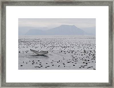 Humpback Whale Diving Amid Seabirds Framed Print by Flip Nicklin