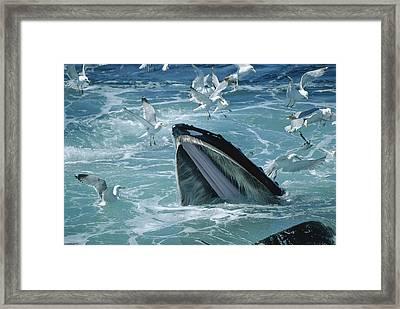 Humpback Whale Feeding With Herring Framed Print