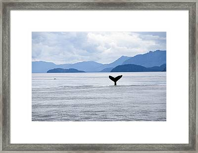 Humpback Whale Megaptera Novaeangliae Framed Print by James Forte