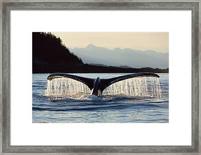 Humpback Whale Megaptera Novaeangliae Framed Print