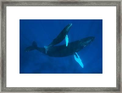 Humpback Whale, Megaptera Novaeangliae Framed Print by Mauricio Handler
