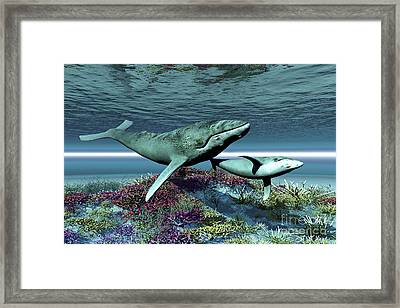 Humpback Whale Mother And Calf Swim Framed Print