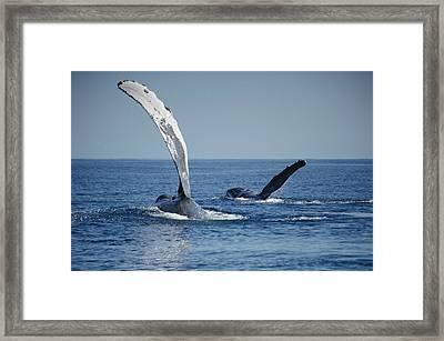 Humpback Whale Pectoral Slap Maui Framed Print