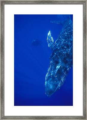Humpback Whale Singer And Joiner Maui Framed Print by Flip Nicklin