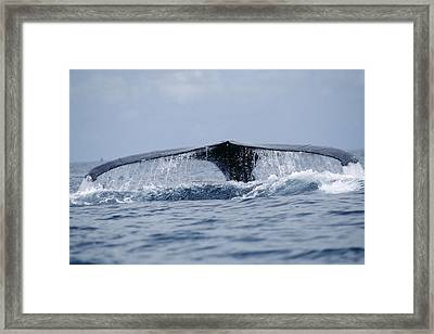 Humpback Whale Tail Framed Print by Alexis Rosenfeld