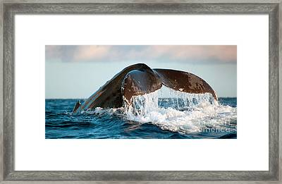 Humpback Whale Tail Framed Print by Monica and Michael Sweet