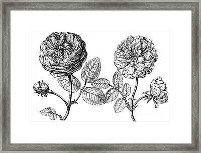 Hundred-leafed Rose Framed Print by Granger