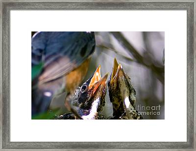 Hungry Baby Robins Framed Print