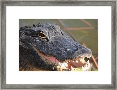 Hungry Gator Framed Print by Susan McNamara