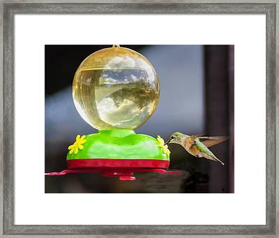 Hungry Hummingbird Framed Print by Sandra Welpman