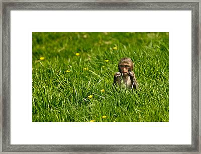 Framed Print featuring the photograph Hungry Monkey by Justin Albrecht