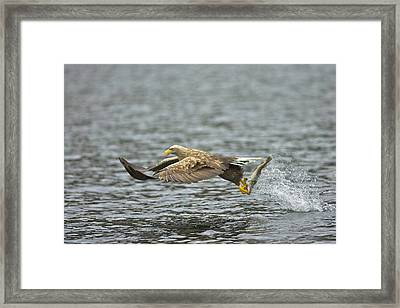 Hunter From The Sky.  Framed Print by Nigel  Atkinson