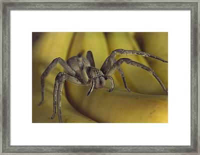 Hunting Spider Cupiennius Salei Walking Framed Print by Heidi & Hans-Juergen Koch