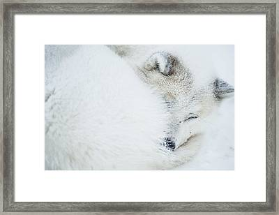 Husky Framed Print by Andre Schoenherr