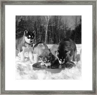 Husky Pups Framed Print by Orlando
