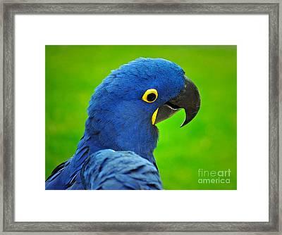Hyacinth Macaw Framed Print